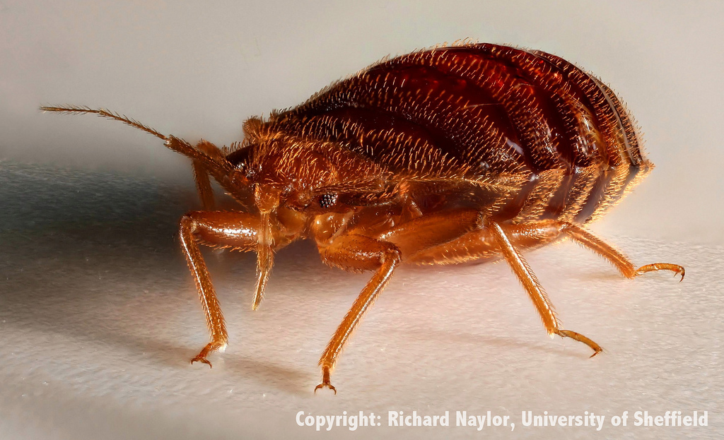 how to kill bedbugs with heat